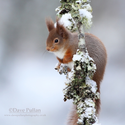 RedSquirrel_mg_5492_copyrightDavePullan