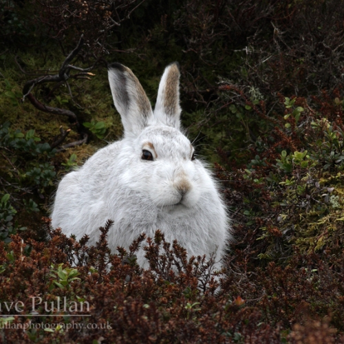 MountainHare_mg_4697_copyrightDavePullan