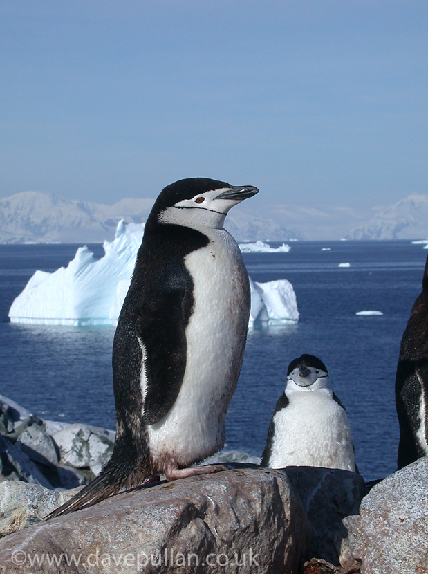 ChinstrapPenguin_Antarctica_DavePullan_043