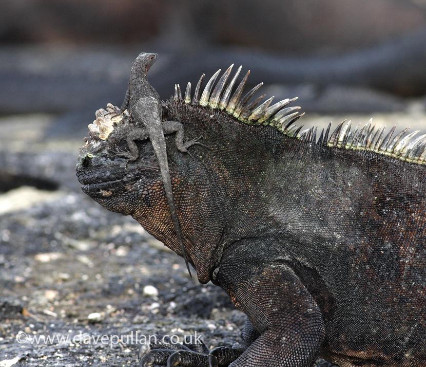 MarineIguana_Galapagos_DavePullan_MG_0630 copy830
