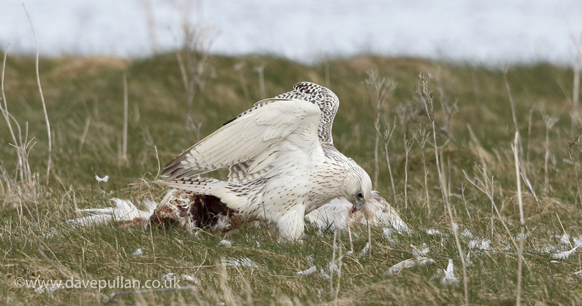 Gyr_NorthUist_4April2016_CopyrightDavePullan_U7A9440 copyV2 text830